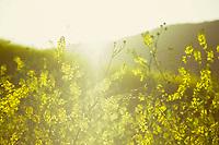 Spring Flowers, Fuji Velvia 100 Film, El Moro Canyon, Newport Beach CA