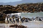 Pingüinos de Magallanes / Chiloé, Chile.