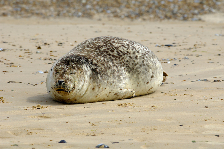 Common Seal Phoca vitulina Length 1.2-1.9m Has a 'friendly'-looking face. Hauled-out seals are easy to observe. Adult is greyish brown but variably mottled with darker spots. Underside is paler than upperside. Dry coat looks shiny if coated in sand. Bridge of nose has concave outline (convex in Grey Seal) and muzzle is blunt, creating a dog-like appearance. Seen from front, nostrils are close together at base and splayed in V-shaped fashion (separated from, and more parallel to, one another in Grey Seal). Front flippers have claws and powerful hind flippers effect propulsion when swimming. Males are larger and heavier than females. Pup is born with marbled grey-brown coat. Widespread on E coast of England and around Scotland and Ireland generally.