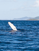 Humpback Whales<br />