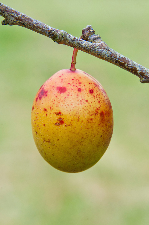"""Plum 'Coe's Golden Drop', late August. """"The variety is named after Jervaise Coe, a market gardener in Bury St Edmunds, who raised it at the end of the 18th century. He was never sure who the parents were, but he thought that they were most likely to be greengage and 'White Magnum Bonum', which grew side by side in his nursery. The fruit has the melting sweet flavour of a perfect greengage but intensified threefold. It matures late at the end of September and is lemon shaped, with a characteristic little bump at the stalk end. It has yellow skin and rich golden-yellow flesh. But it is what is euphemistically known as 'shy-fruiting', the meanest of all plums. That is why 14 can be interpreted as a triumph rather than a disaster."""" Anna Pavord, The Independent on Sunday, 22 August 1992."""
