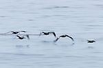 Brown Pelican (Pelecanus occidentalis) squadron flying over water, Santa Cruz, Monterey Bay, California