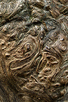 Pattern on knotted tree burl. Mt. Rainier National Park, Washington