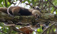 A tamandua and its baby peer down out of a tree in Corcovado National Park.