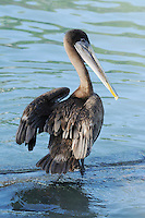 Brown Pelican (Pelecanus occidentalis), immature, Galapagos Islands, Ecuador, South America