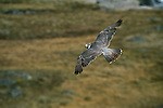 A peregrine falcon in flight over Wager Bay, Northwest Territory, Canada.