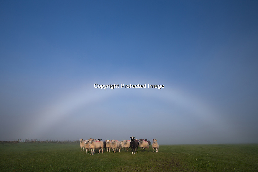 02/11/15<br /> <br /> As this morning's fog begins to lift, a flock of sheep are perfectly framed by a fog bow near Longnor in the Staffordshire Peak District. A fog bow is a similar phenomenon to a rainbow; however, as its name suggests, it appears as a bow in fog rather than rain. Because of the very small size of water droplets fog bows often appear white, and are therefore sometimes called white rainbows.<br /> <br /> <br /> All Rights Reserved: F Stop Press Ltd. +44(0)1335 418365   www.fstoppress.com.