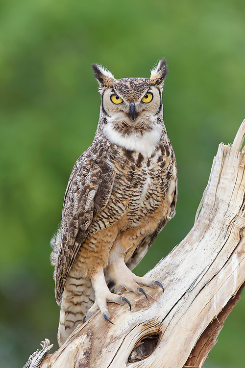 Great Horned Owl - Bubo virginianus