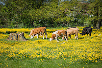 Cattle grazing in buttercup paddock - Lincolnshire, May