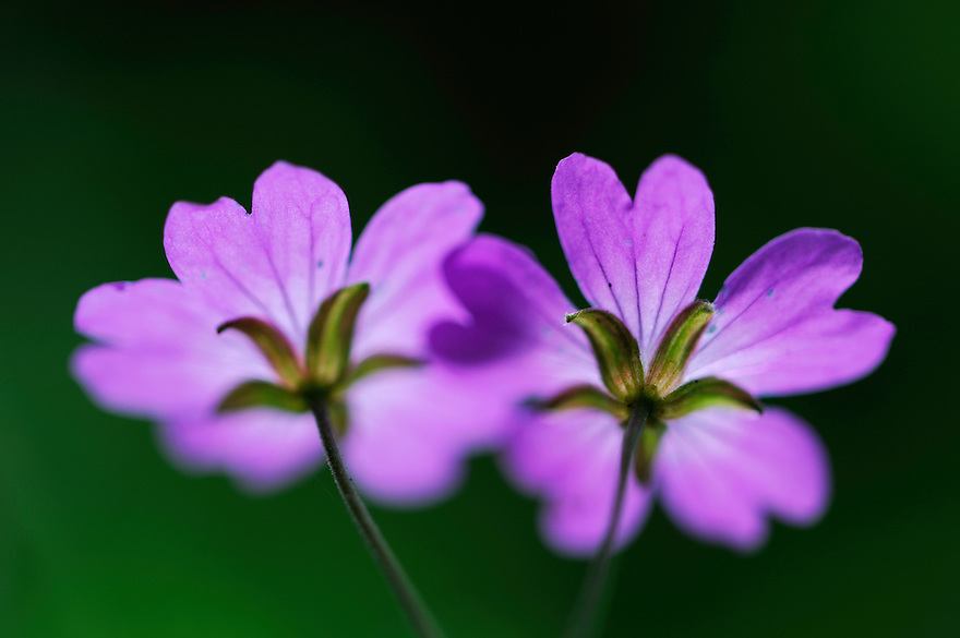 (Geranium pyrenaicum) Hedgerow Crane's-bill, Mullerthal trail, Mullerthal, Luxembourg