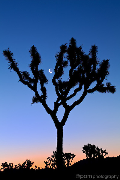 Moon with Joshua Tree