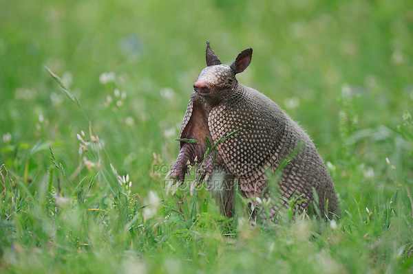 Nine-banded Armadillo (Dasypus novemcinctus), adult standing up smelling, Fennessey Ranch, Refugio, Coastal Bend, Texas, USA