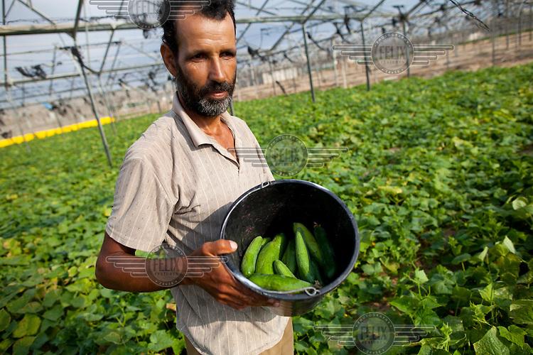 Tayseer Mahmoud Al-Bayouk, a worker at the Hittin Farm, picks cucumbers.