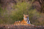 Bandhavgarh National Park, India; 17 months old Bengal tiger cub (male) resting in open area early morning, dry season