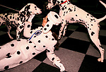 'CRUFTS', KATHERINA, PROMOTIONS GIRL FOR BATTERSEA DOGS HOME, DRESSED WITH A DALMATIAN COSTUME., 1991
