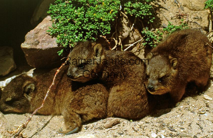 South Africa, Cape Town, Cape Peninsula Nature Reserve, Rock Dassies (Procavia capensis)