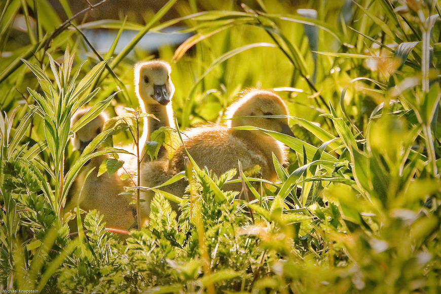 "Wisconsin Trails Magazine – selected ""Gosling Glow"" as second place winner in their 2009 Wisconsin Trails Photo Contest."