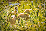 """Wisconsin Trails Magazine – selected """"Gosling Glow"""" as second place winner in their 2009 Wisconsin Trails Photo Contest."""