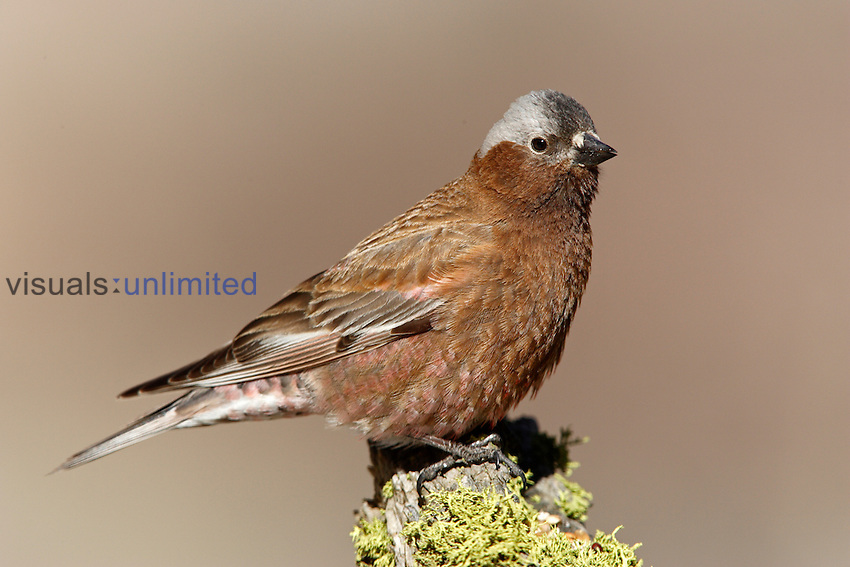 Gray-crowned Rosy-Finch (Leucosticte tephrocotis), California, USA.
