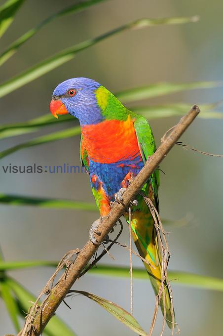 Rainbow Lorikeet (Trichoglossus haematodus), Queensland, Australia