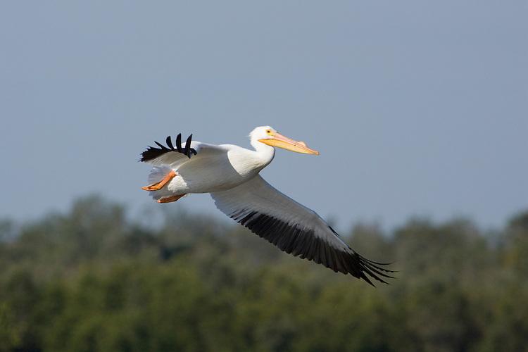 American White Pelican - Pelecanus erythrorhynchos