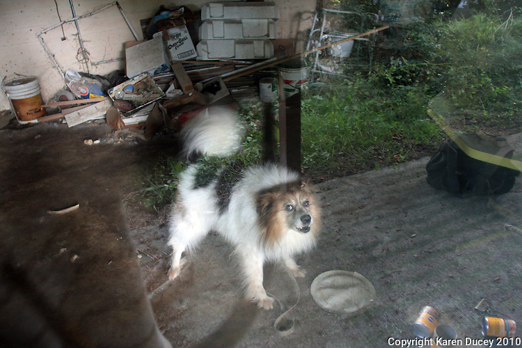 Lucky, a dog who has allegedly been stuck in a basement for years in Shoreline, WA barks continuously on September 22, 2010.  No one has lived in the house for 3 months but someone comes and feeds the dog a couple times a week. (photo copyright Karen Ducey 2010).