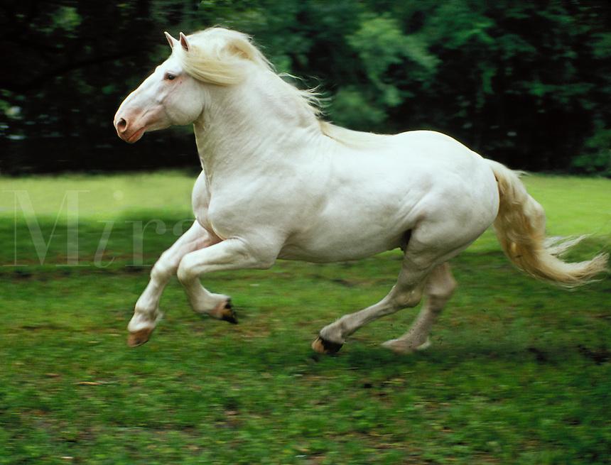American White Draft Horse stallion.