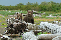 Two brown bear spring cubs curiously peer from behind drift wood along the streams edge.