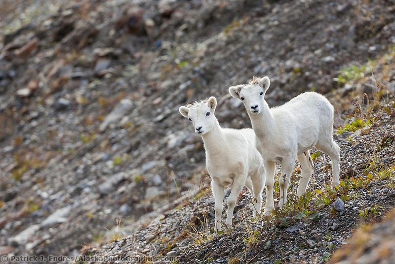 Dall sheep lambs, Atigun pass, Brooks range mountains, arctic, Alaska.