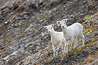 Dall sheep lambs, Atigun Pass, Brooks Range mountains, Arctic, Alaska.