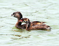 Pied-billed grebes,adult and juvenile