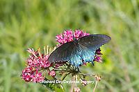 03004-01314 Pipevine Swallowtail butterfly (Battus philenor) male on Purple Milkweed (Asclepias purpurascens) Barton Fen in Reynolds Co., MO