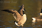 Canada Goose (Branta canadensis) flapping wings, Ithaca, New York, USA.<br /> Slide # B24-5440