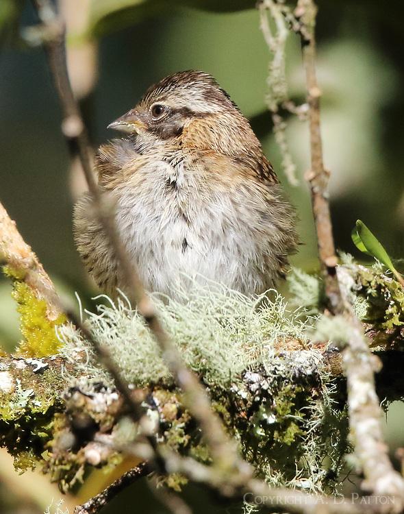 Immature rufous-collared sparrow