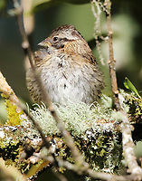 Immature rufous-collared sparrow