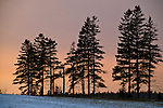 Silhouetted coniferous trees in the winter on Prince Edward Island, Canada.
