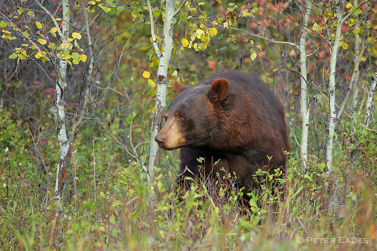 Black Bear in Fall Colors