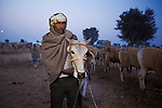 Namoo (35) is from Saimarda Rajasthan. It's his 1st time to Nagaur, and he bought 4 calves. He has not named them, but for the purpose of my notes decided to call them Bachra and Bel! The one in image is 2.5 years old. He already has 2 at home.<br /> He came with 6 others from his village, including Kallu (portrait of man covered in shawl).<br /> Nagaur Cattle Fair In Rajasthan takes place annually in January. It only has male calves (bachra) and bulls (bel), no cows. There are, however, female horses and camels allowed. People come from all over North India to buy and sell cattle. Some people come to 'dance' their horses and camels.<br /> I met Mahendra Singh from Haridwar, Uttarakhand who took me around the fair and helped me by telling everyone I am Indian, so they would not hassle me. 09012837793 &amp; 09058793325<br /> The organiser of the fair is Dr. G.L. Lunia - 09414664900 ddahnagaur@yahoo.co.in