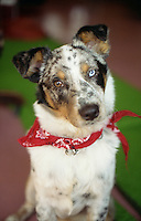 Photo of an australian Shepherd Blue Heeler Mix Dog with a red bandana around it's neck.