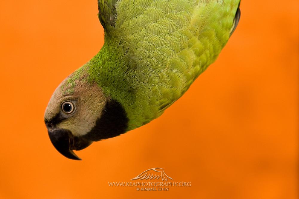 Mustache Parakeet (Parrot) Pictures - Photos - Images | Kea Photography