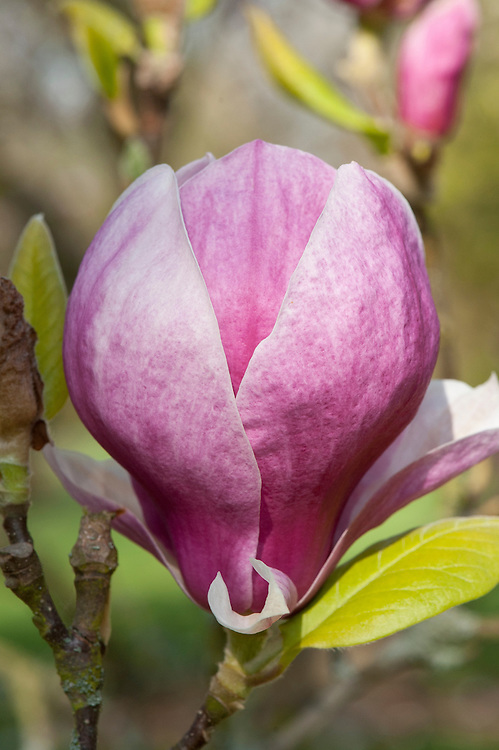 Magnolia x soulangeana in flower, early April.