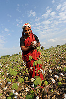 INDIA Maharashtra, cotton farming in Vidarbha region , women harvest Bt-(bacillus thuringiensis) cotton , the gene modified sort Bollgard of Monsanto India , Vidarbha has a high rate of farmer suicide due to debt , crop failure and drought / INDIEN Maharashtra, Frauen ernten BT- (bacillus thuringiensis) Baumwolle , genveraenderte Sorte Bollgard des Konzern Monsanto  , Region Vidarbha hat eine enorm hohe Rate von Bauernselbstmorde durch hohe Verschuldung fuer Saatgut Pestizide und Duenger und durch Ernteausfaelle wegen Duerre und Wassermangel