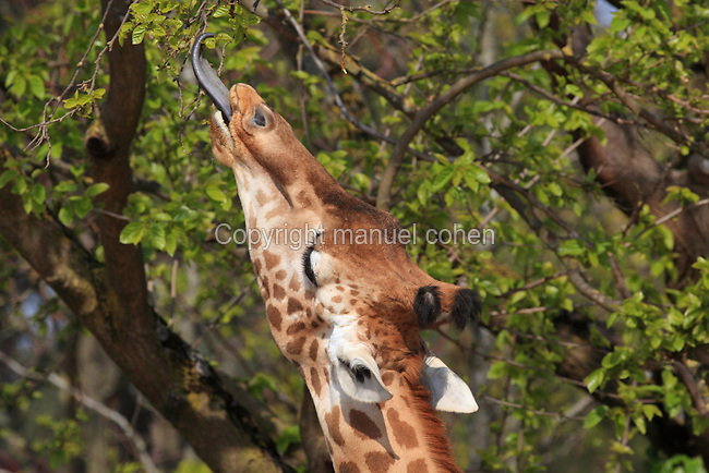 West African Giraffe Giraffa Camelopardalis Eating Leaves On A Tree In The Zone Sahel