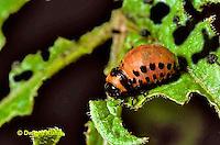 1C28-015c  Colorado Potato Beetle - larva - Leptinotarsa decemlineata