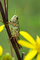Red-legged Grasshopper (Melanoplus femurrubrum) feeding on young leaves of Whorled Rosinweed (Silphium asteriscus) in a tall-grass prairie remnant, Killdeer Plains Wildlife Area, Ohio