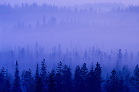 A coniferous forest in fog at dusk near Prince George, British Columbia, Canada.