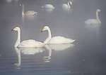 Hokkaido, Japan<br /> Whooper Swans (Cygnus cygnus) swiming in the misty open waters of frozen Lake Kussharo, Akan National Park