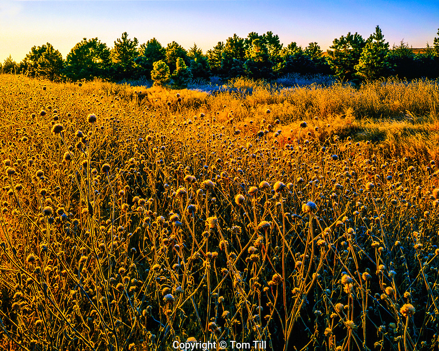 Early Morning Frosted Weeds in Autumn, Samuel R. McKelvie National Forest, Sand Hills Area, Nebraska