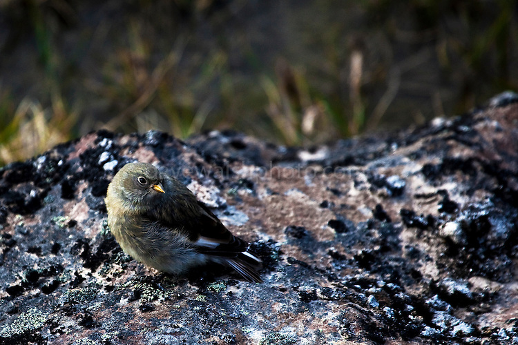 Snow Bunting fledgling waiting to be fed by mother, photographed on nunatuk, face of Humboldt Glacier, northwestern Greenland.