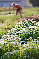 Woman farmer harvesting flowers in early morning at Lotts of Flowers, Chico California cut flower local small business